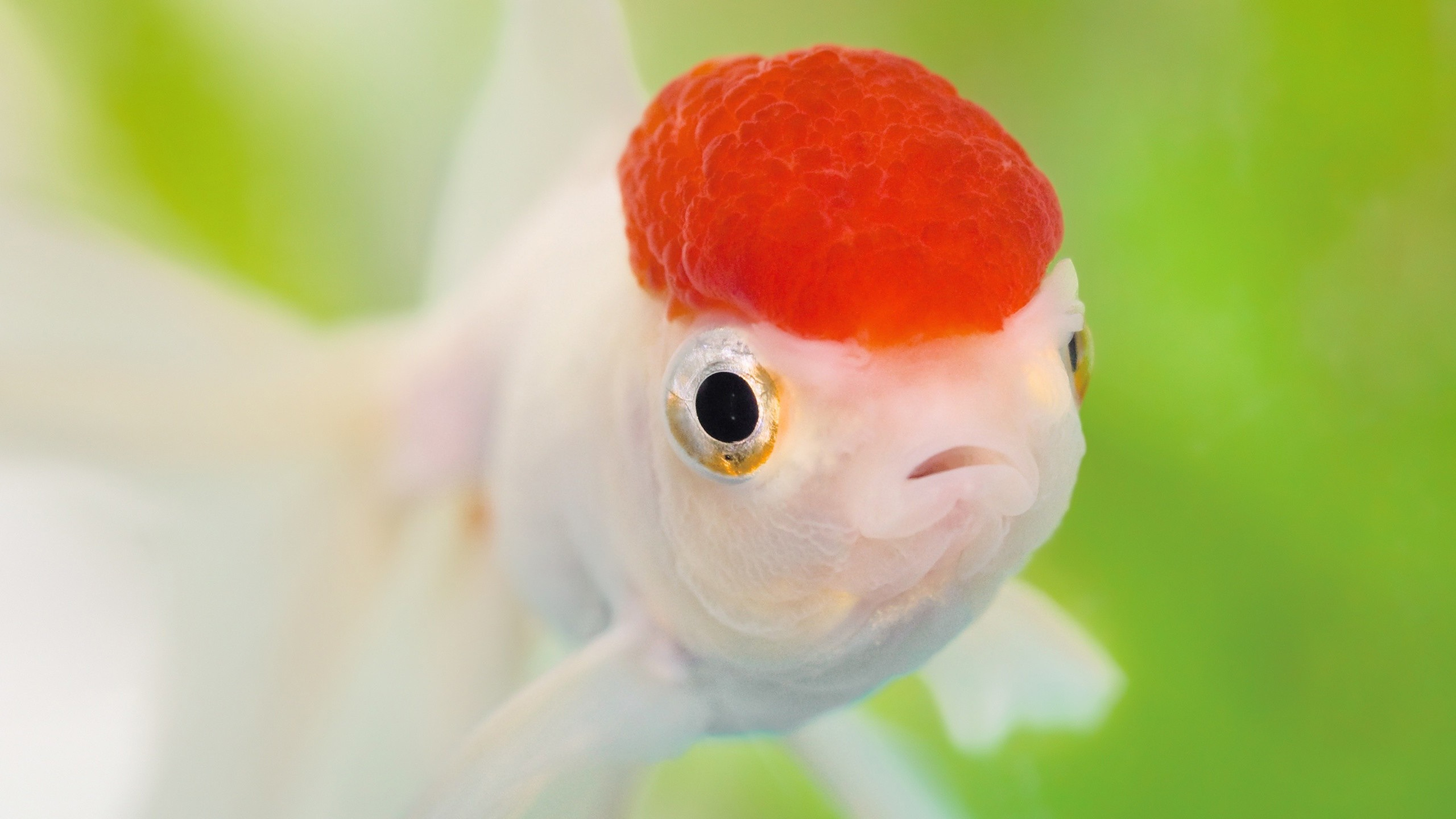 Red-head-goldfish_2560x1440.jpg